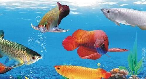 银龙鱼吐胃袋主要两个原因